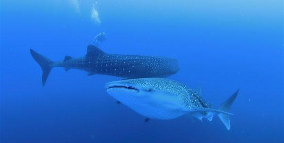 Whale shark@Soleil-2